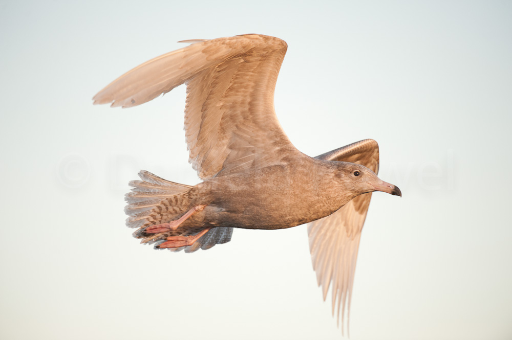 Glaucous Gull, Smøla, Norway
