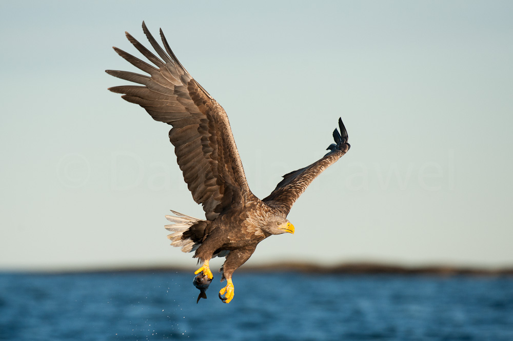 White-tailed Eagle, Smøla, Norway