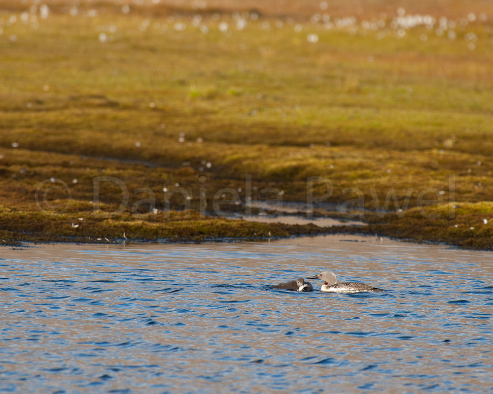 Red-throated Diver, Longyearbyen, Svalbard
