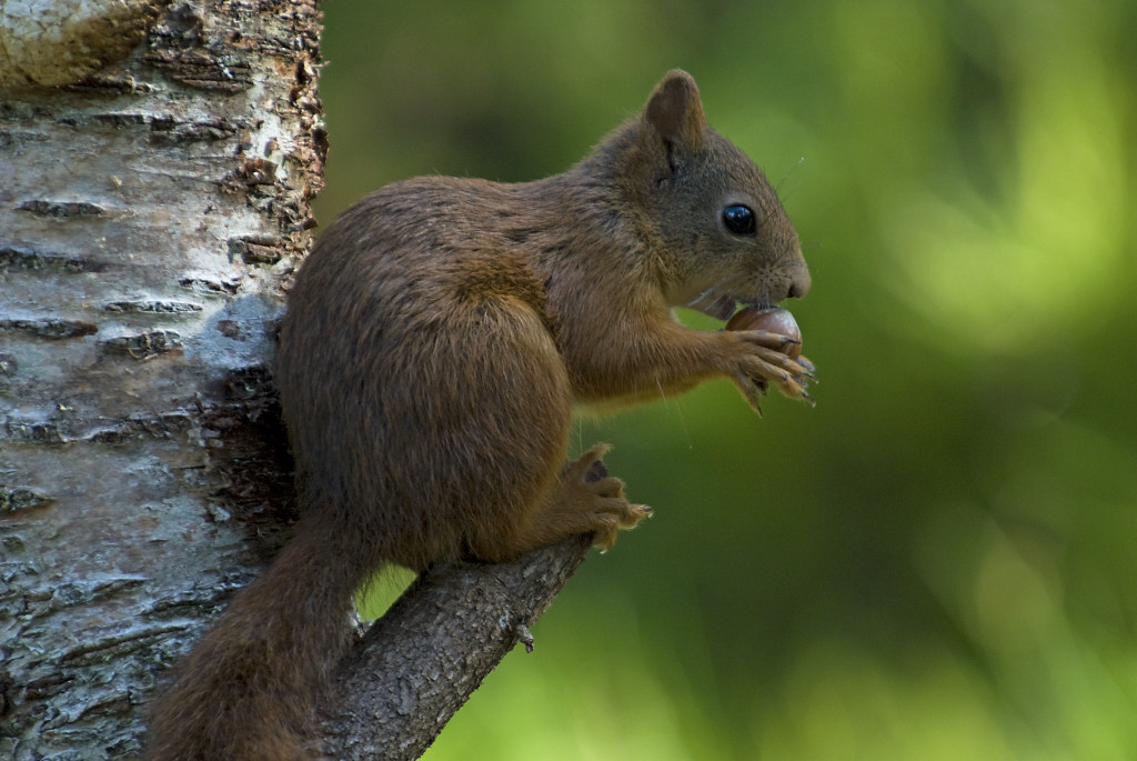 Squirrel, Flatanger, Norway